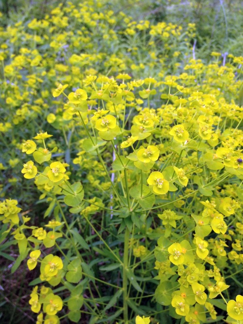 leafy spurge - a bad guy
